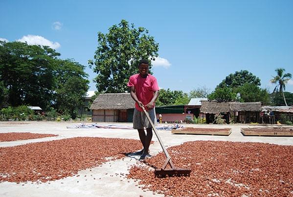 Raking cocoa in Madagascar