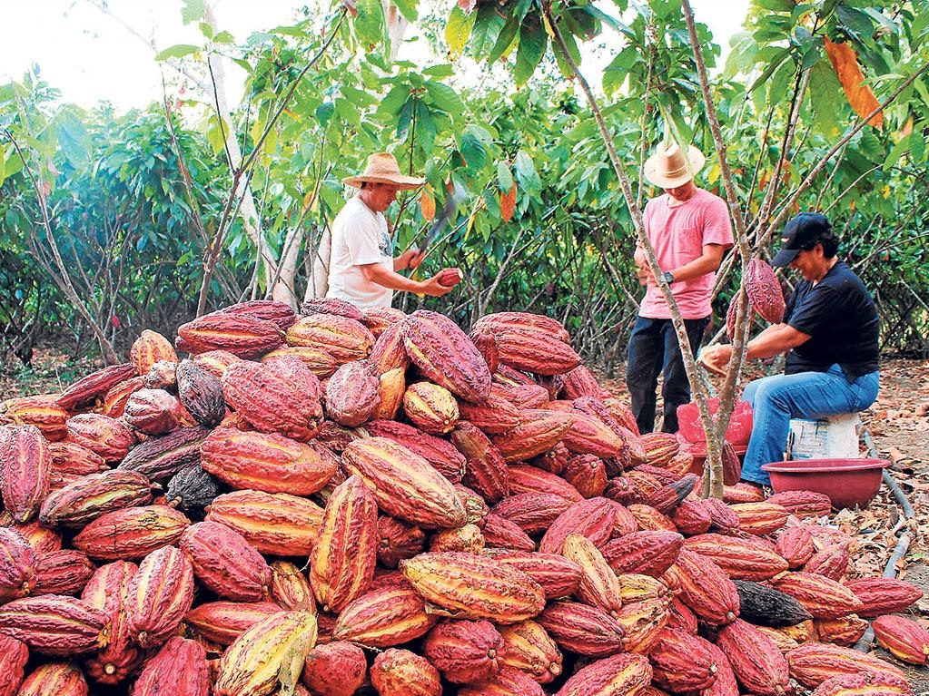 Farmers and workers working on the Cacao farm. Photo courtesy of ANECACAO.