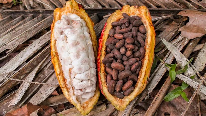 cacao pod split in half